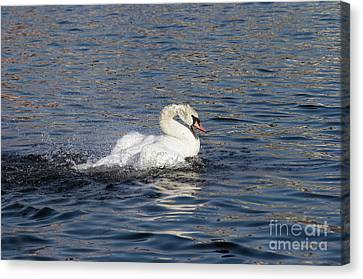 Angry Swan On The Water Canvas Print by Michal Boubin