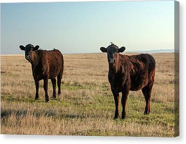 Angus Steer Canvas Print - Angus Alerted by Todd Klassy