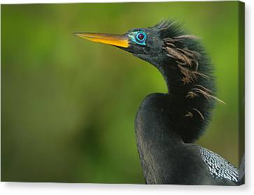 Anhinga Anhinga Anhinga, Tortuguero Canvas Print by Panoramic Images