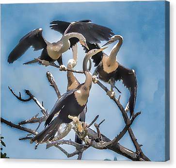 Anhinga Feeding Time Canvas Print