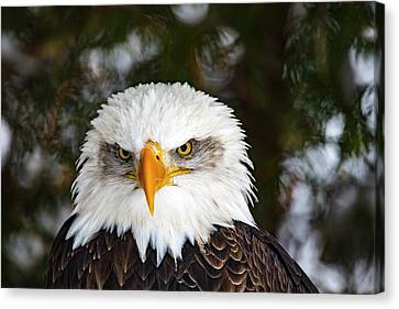 Animal - Bird - Bald Eagle Close Up Canvas Print