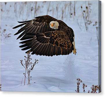 Animal - Bird - Bald Eagle Taking Off In The Snow Canvas Print