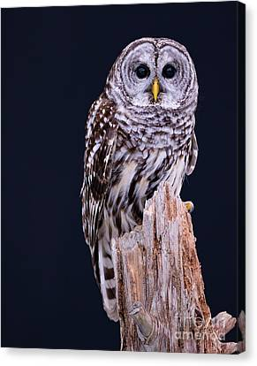 Animal - Bird - Barred Owl Canvas Print