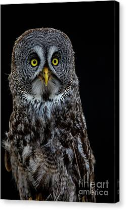 Animal - Bird - Great Gray Owl Canvas Print