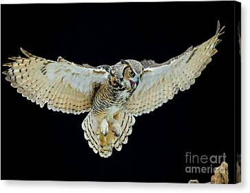Animal - Bird - Great Horned Owl Wings Spread Canvas Print