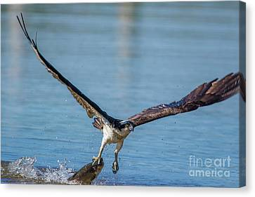 Animal - Bird - Osprey Catching A Fish Canvas Print
