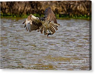 Animal - Bird - Osprey Flying Off With A Fish Canvas Print