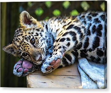 Animal - Jaguar - Baby Penny Canvas Print