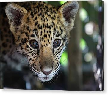 Animal - Jaguar Cub Close Up Canvas Print