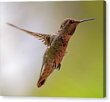 Canvas Print featuring the photograph Anna's Hummingbird H24 by Mark Myhaver