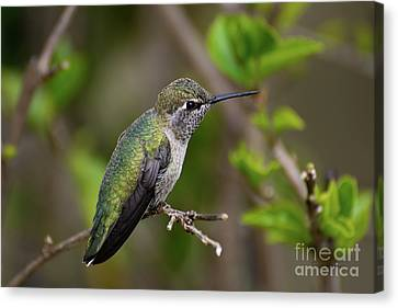 Canvas Print featuring the photograph Anna's Hummingbird On Lime Tree by Susan Wiedmann