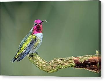 Anna's Hummingbird Sticking His Tounge Out Canvas Print
