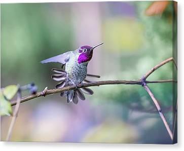 Anna's Hummingbird Stretching Canvas Print