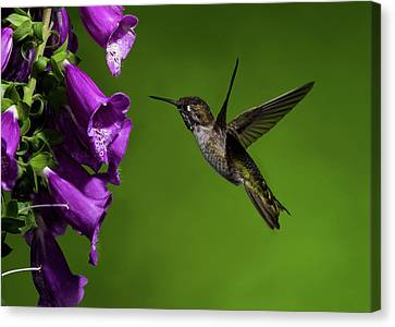 Canvas Print featuring the photograph Anna's Hummingbird With Fox Glove Flowers by Lara Ellis