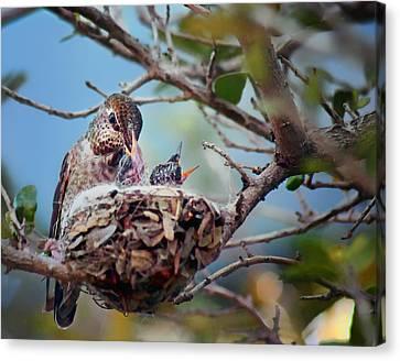 Anna's Hummingbirds Canvas Print by Nikolyn McDonald