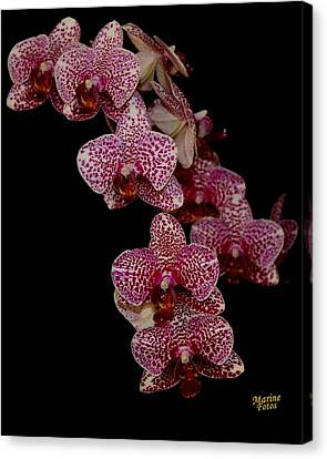 Anniversary Orchid Plant On Black Canvas Print
