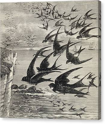 Annual Migration Of Swallows. From The Canvas Print by Vintage Design Pics