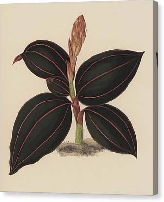 Anoectochilus Rubro Venia Canvas Print by English School
