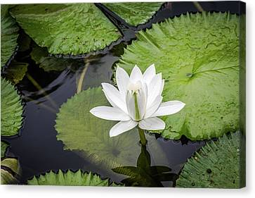Another Lily Canvas Print