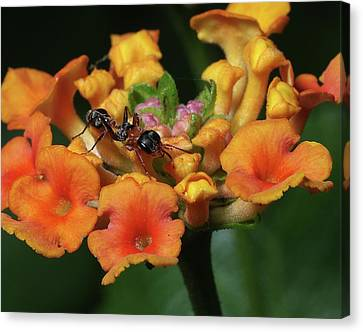 Ant On Plant  Canvas Print by Richard Rizzo