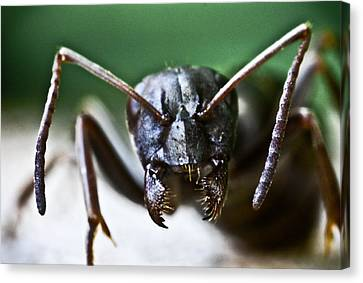 Ant Smile Canvas Print by Ryan Kelly