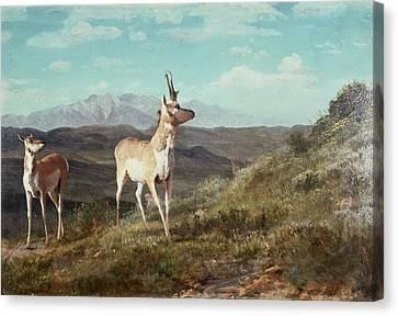 Antelope Canvas Print by Albert Bierstadt