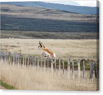 Canvas Print featuring the photograph Antelope Jumping Fence 1 by Rebecca Margraf