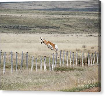 Canvas Print featuring the photograph Antelope Jumping Fence 2 by Rebecca Margraf