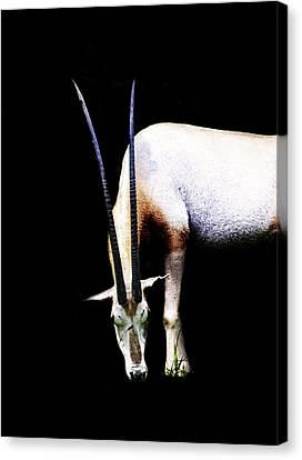 Antelope Canvas Print by Martin Newman