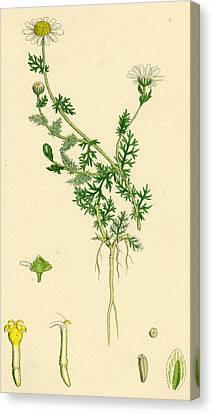 Anthemis Nobilis Common Chamomile Canvas Print
