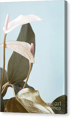 Anthurium Pastel Shade Canvas Print