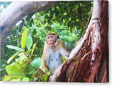 Anticipating Monkey Canvas Print by Chandima Weeratunga