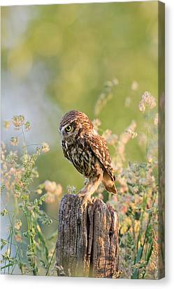 Anticipation - Little Owl Staring At Its Prey Canvas Print by Roeselien Raimond