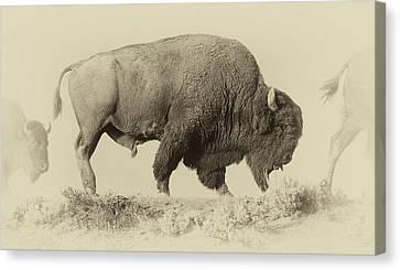 Antique Bison Canvas Print by Shane Linke
