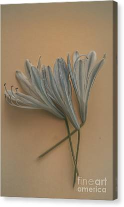 Agapanthus Canvas Print - Antique Floral Art by Jorgo Photography - Wall Art Gallery