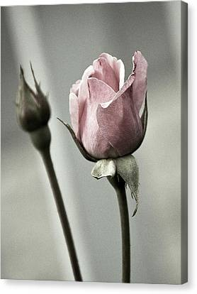 Antique Pink Rose Canvas Print