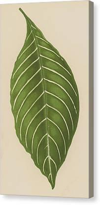 Aphelandra Leopoldii  Canvas Print by English School