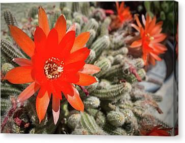 Aporocactus Flagelliformis Flower Canvas Print by Claudio Bergero