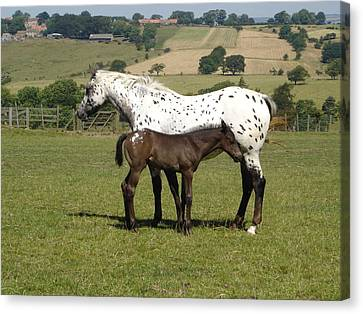 Appaloosa Mare And Foal Canvas Print