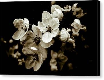 Apple Blossom Canvas Print by Frank Tschakert
