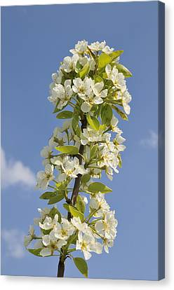 Canvas Print featuring the photograph Apple Blossom In Spring by Matthias Hauser