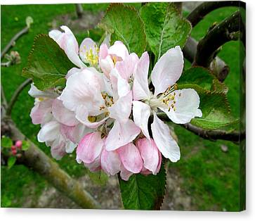 Apple Blossom Canvas Print by Joyce Woodhouse