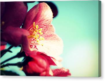 Apple Blossom Canvas Print by Lisa Knechtel