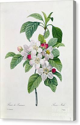 Writing Canvas Print - Apple Blossom by Pierre Joseph Redoute