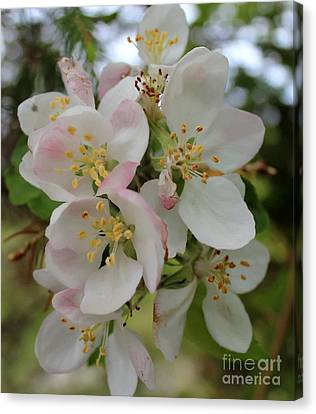 Apple Blossom Special 2 Canvas Print by Barbara Griffin