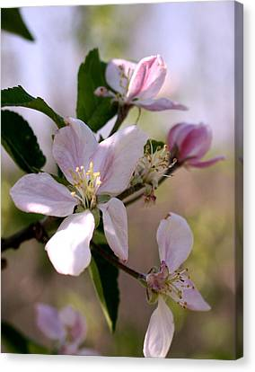 Canvas Print featuring the photograph Apple Blossom Time by Diane Merkle