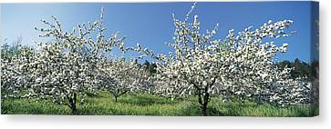 Norway Canvas Print - Apple Blossom Trees Norway by Panoramic Images