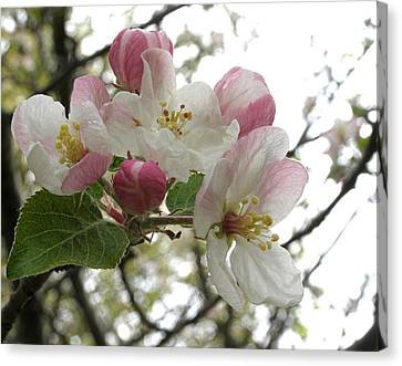 Canvas Print featuring the photograph Apple Blossoms - Wild Apple by Angie Rea