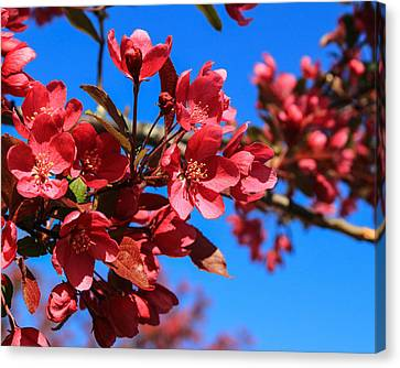 Apple Blossoms #2 Canvas Print by Laurie Breton