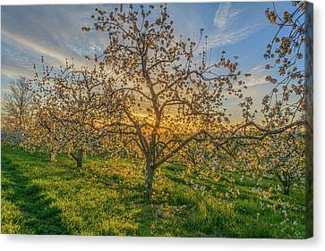 Apple Blossoms At Sunrise 2 Canvas Print by Angelo Marcialis